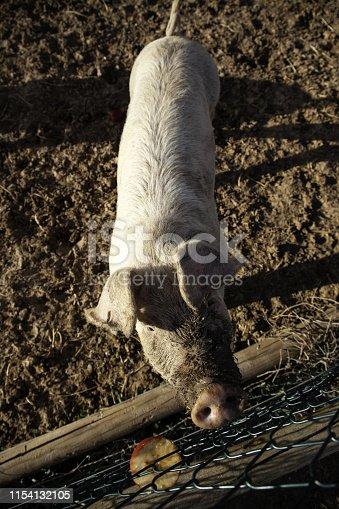 istock Pigs on farm 1154132105