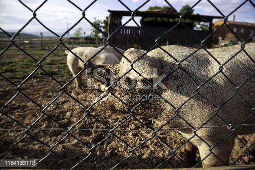 istock Pigs on farm 1154132112
