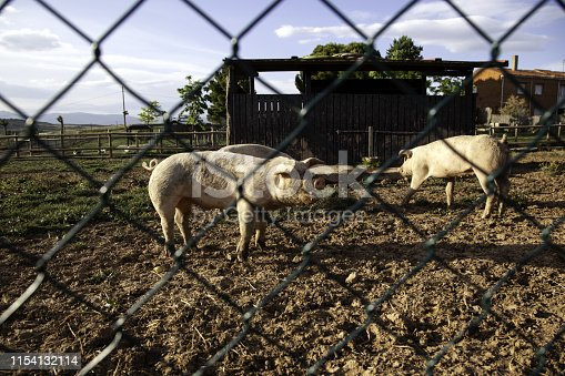 istock Pigs on farm 1154132114