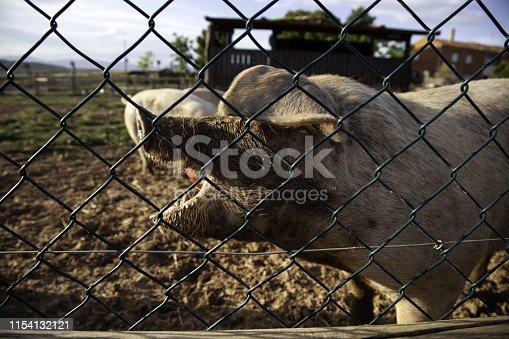 istock Pigs on farm 1154132121