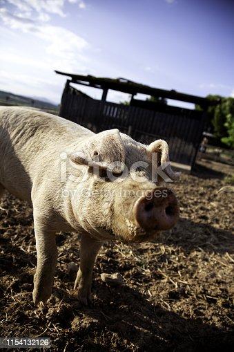 istock Pigs on farm 1154132126