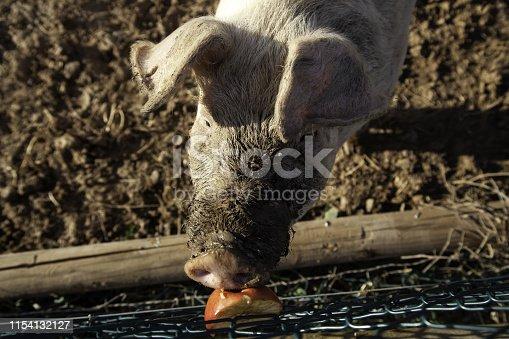 istock Pigs on farm 1154132127