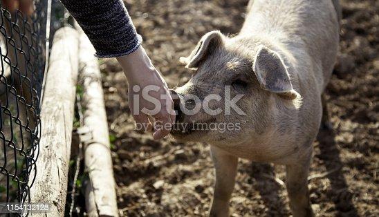 istock Pigs on farm 1154132128