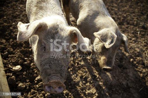 istock Pigs on farm 1154132143