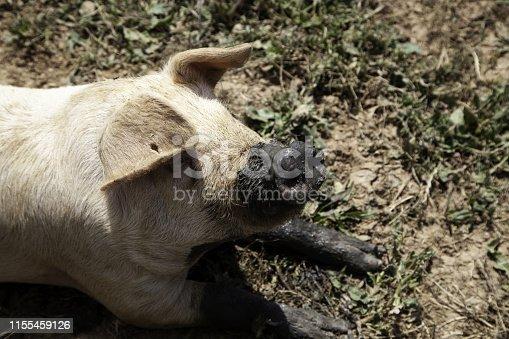 istock Pigs on farm 1155459126
