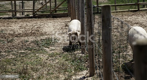 istock Pigs on farm 1155459127