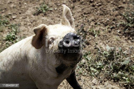 istock Pigs on farm 1155459137