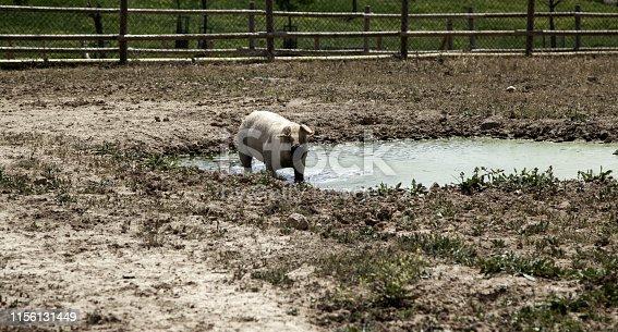 istock Pigs on farm 1156131449