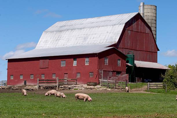 Pigs on Farm stock photo