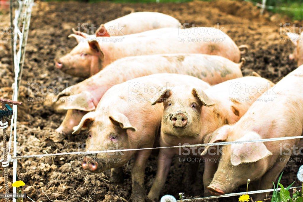 Pigs on the eco-farm. stock photo