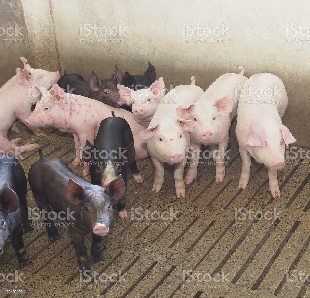 pigs on the farm stock photo