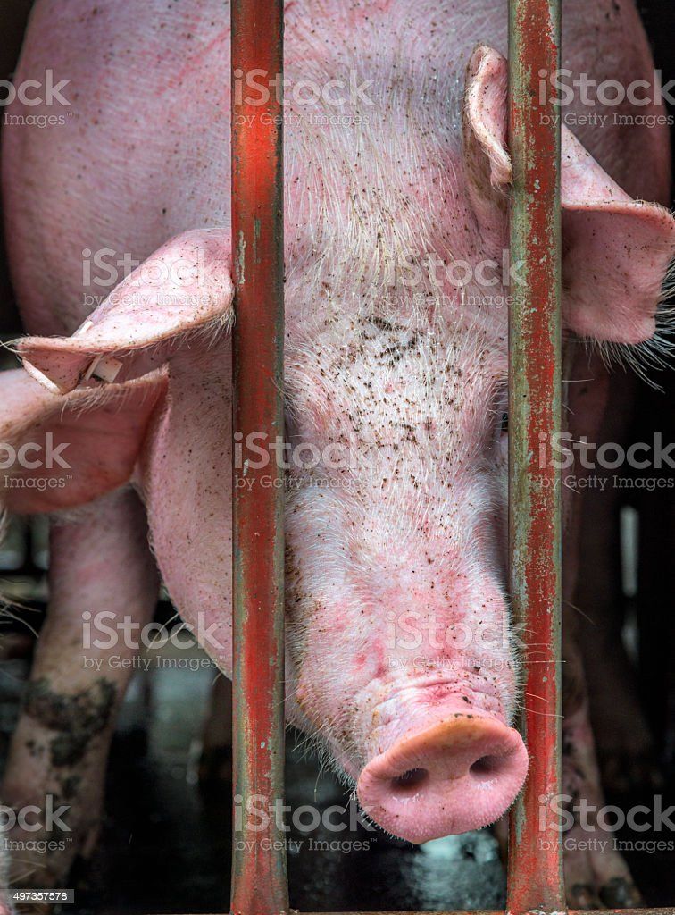 Pigs on transport, close up of pig between bars stock photo