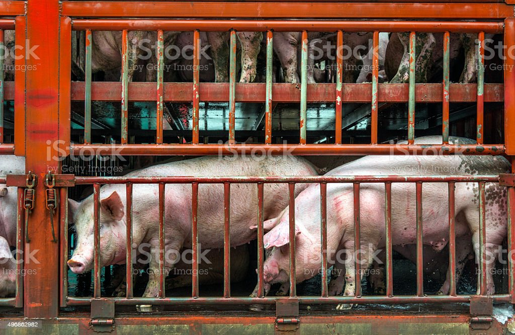 Pigs on transport, sad pigs on their way to abattoir stock photo
