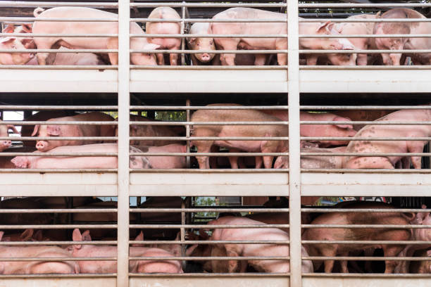 pigs on truck stock photo