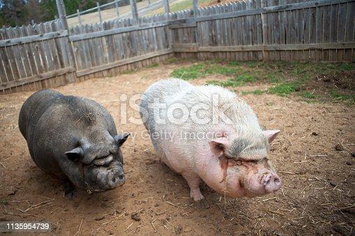 istock Pigs 1135954739
