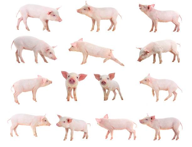 schweine - pig ugly stock-fotos und bilder