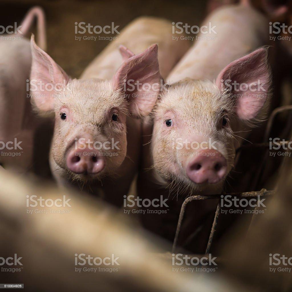 Pigs. stock photo