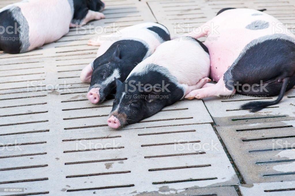 Schweine – Foto