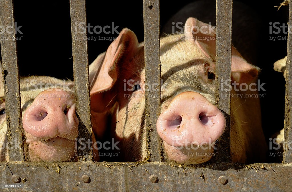 Pigs Portrait in a Stable stock photo