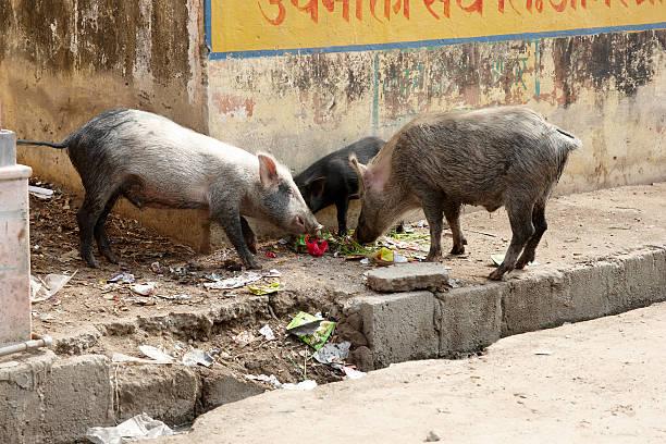 suínos roaming as ruas da índia para comida - desperdício alimentar imagens e fotografias de stock