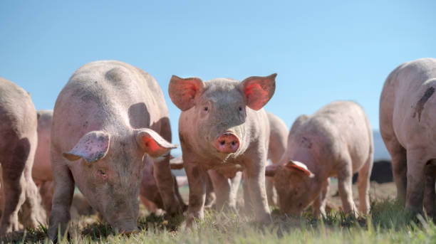 Pigs' snouts and tails stock photo