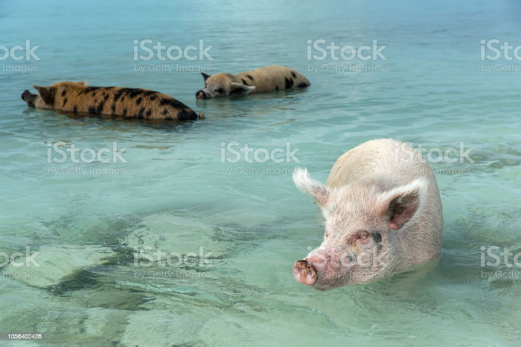 Pigs Swimming In A Clear Waters Of Caribbean Sea Are Famous