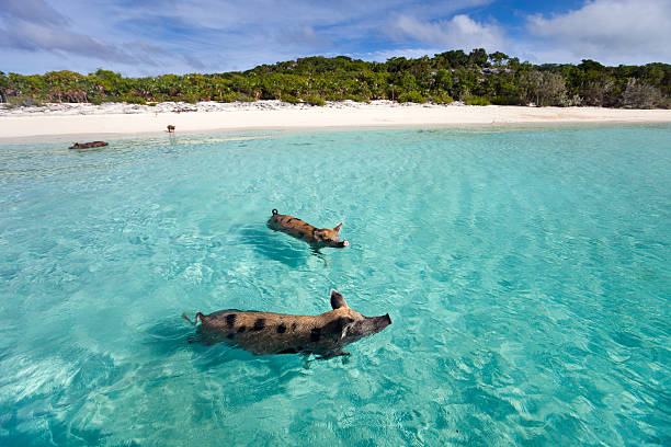 Pigs swimming in the sea in Exuma stock photo