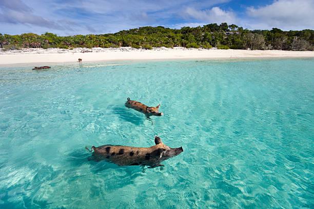 nuoto suini di exuma - bahamas foto e immagini stock