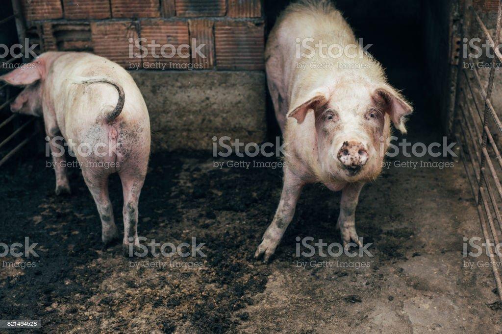 Pigsty - foto de stock