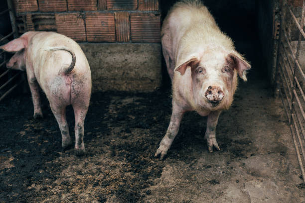 pigsty - mammal stock photos and pictures