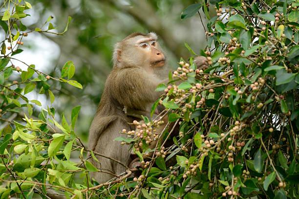 macaco nemestrino - macaco foto e immagini stock
