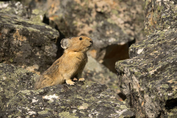 Quick moving pikas could disappear in a moment and reappear elsewhere.