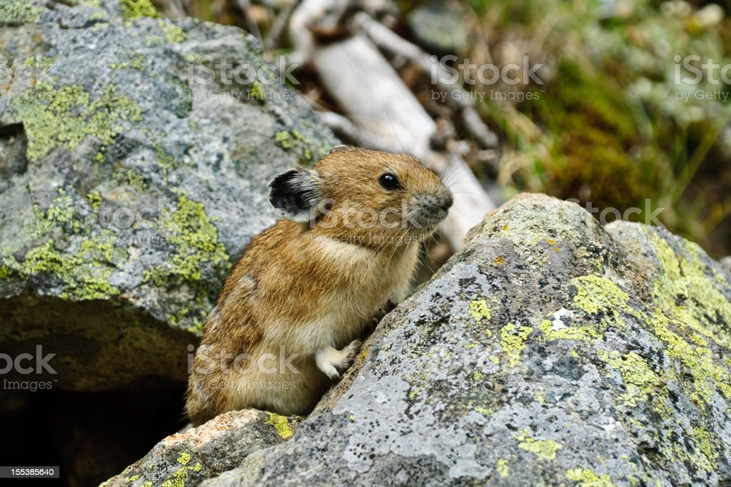 Pika on a Rock The American Pika (Ochotona Princeps) is an herbivorous, smaller relative of the rabbit. These cute rodents can be found in the mountains of western North America usually above the tree line in large boulder fields. The pika could become the first mammal in United States to be listed as endangered by the US Fish and Wildlife Service as a result of global climate change. This pika was found by the Palisades Lake Trail in Mount Rainier National Park, Washington State, USA. Animal Stock Photo