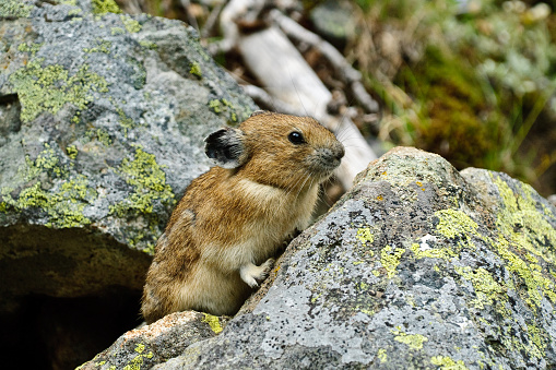 Pika On A Rock Stock Photo - Download Image Now