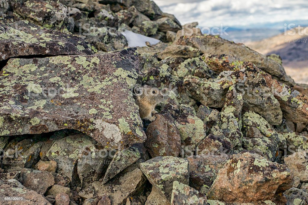 Pika on Avalanche Peak in Yellowstone National Park, Wyoming. royalty-free stock photo