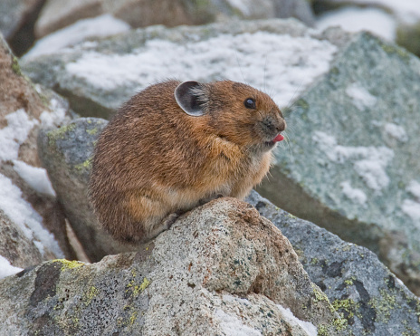 Pika With Tongue Sticking Out Stock Photo - Download Image Now