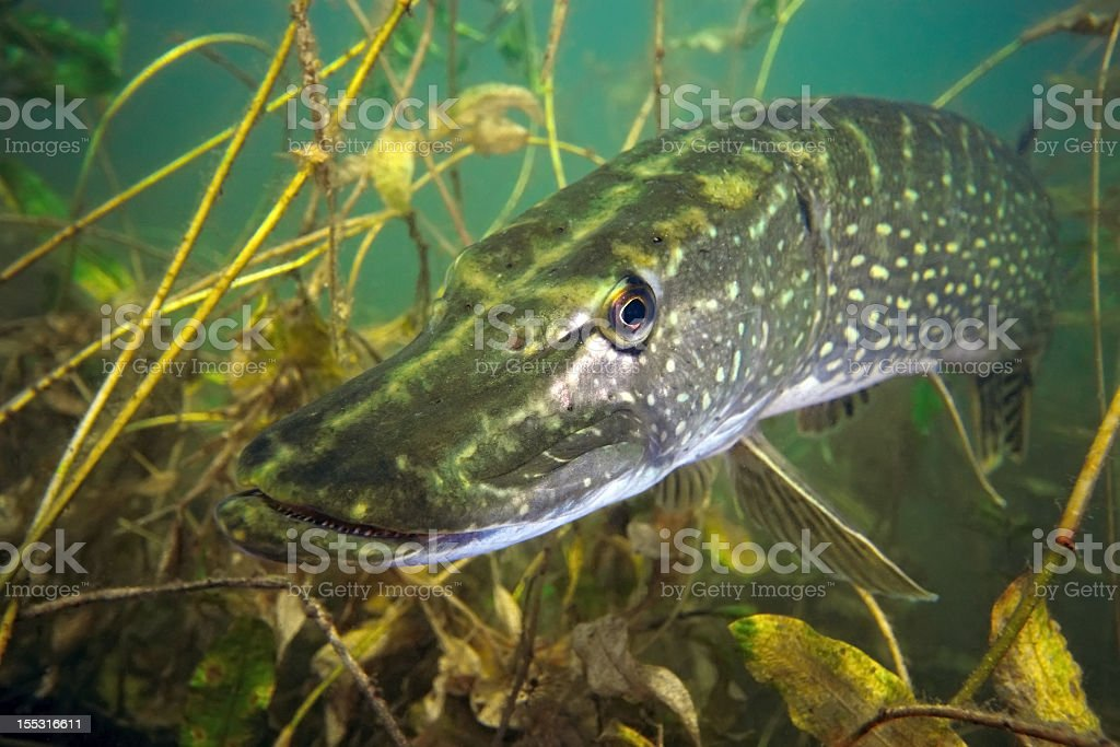 A pike fish in its underwater habitat stock photo