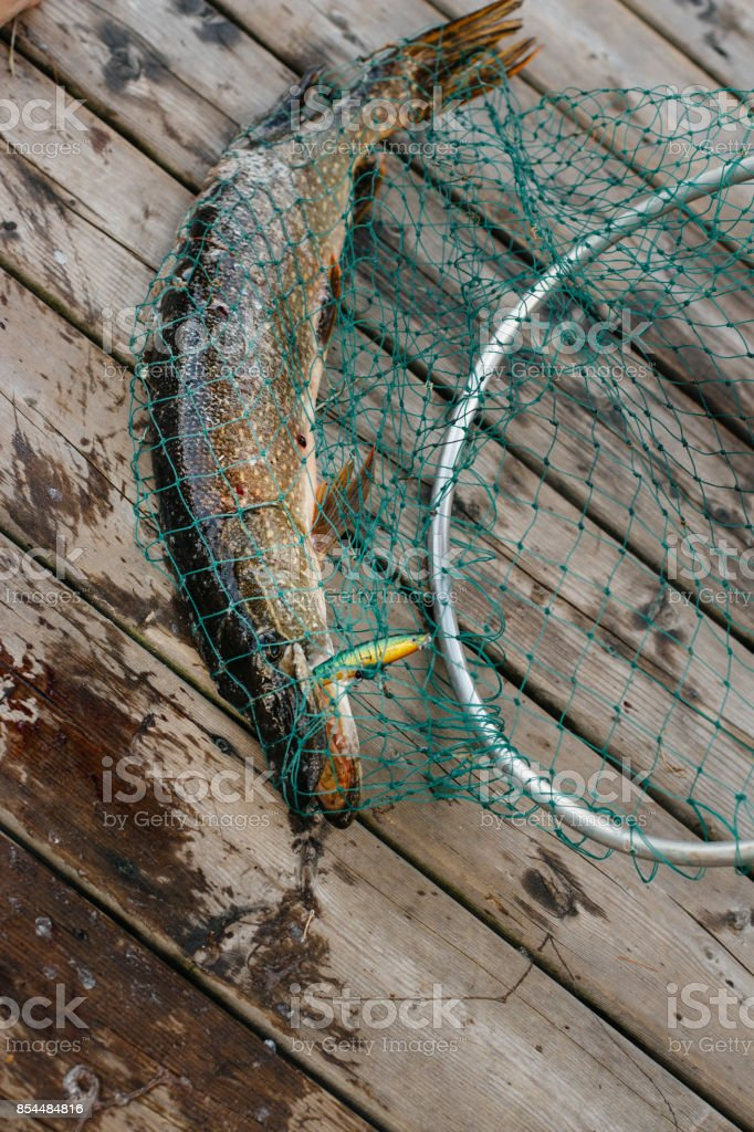 pike fish in nettle close up stock photo