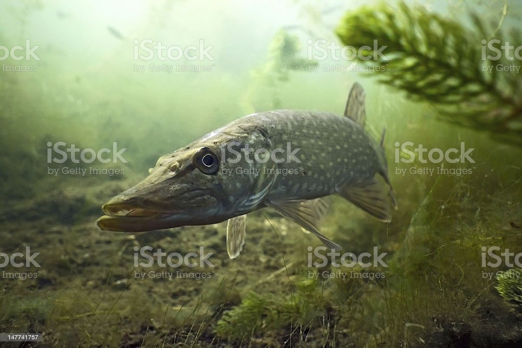 Pike in the lake stock photo