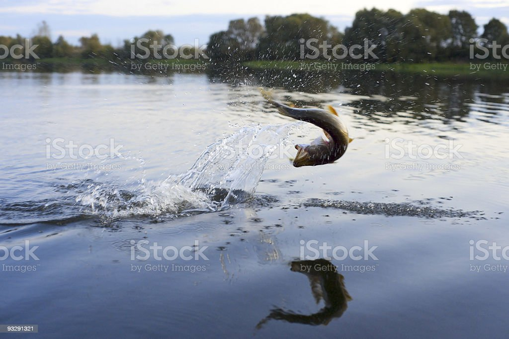 Pike on hook jumping out of water stock photo