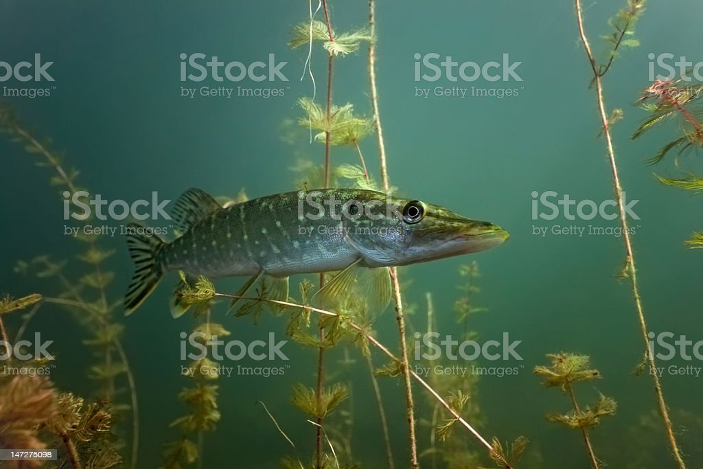 Pike stock photo
