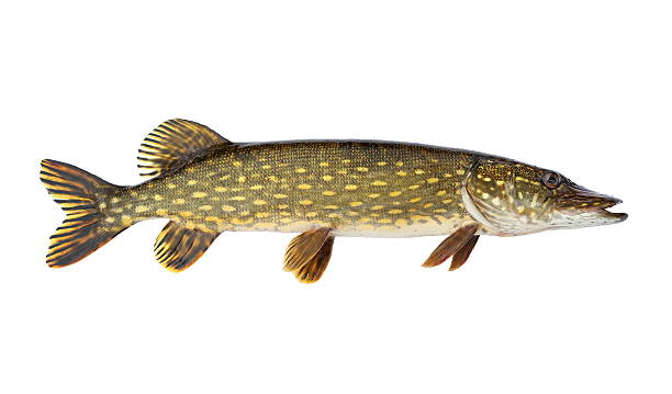 Pike Nice alive pike. Isolated on white background. Studio shot. pike fish stock pictures, royalty-free photos & images
