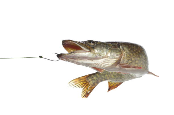 pike long pike on white background pike fish stock pictures, royalty-free photos & images