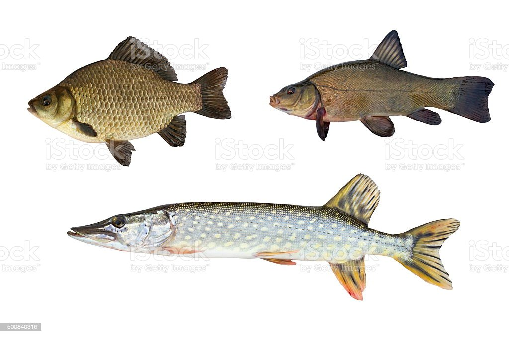 pike, tench and crucian stock photo