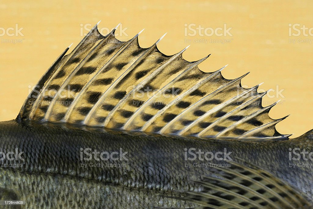 Pike-perch royalty-free stock photo