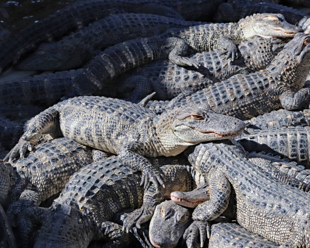 Pile of alligators stock photo