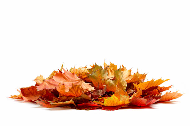 pile of autumn colored leaves isolated on white background.a heap of different maple dry leaf .red and colorful foliage colors in the fall season - stos zdjęcia i obrazy z banku zdjęć