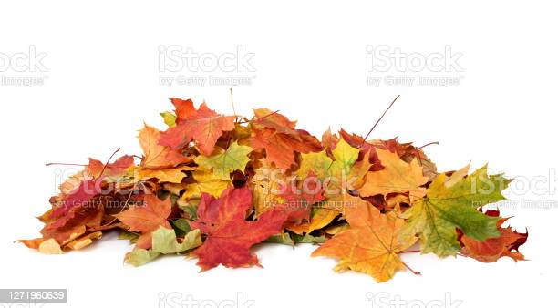 Photo of Pile of autumn colored leaves isolated on white background.A heap of different maple dry leaf .Red and colorful foliage colors in the fall season