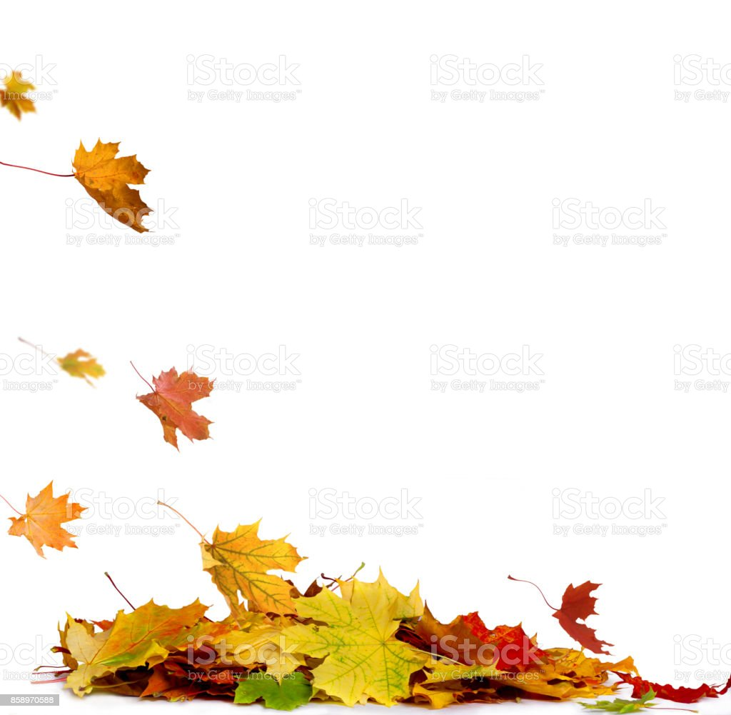 Pile of autumn colored leaves isolated on white background.A heap of different maple dry leaf .Red and colorful foliage colors in the fall season - foto stock