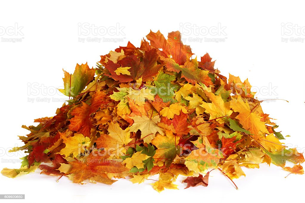 Pile of autumn maple colored leaves isolated on white background stock photo